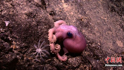 海底火山发现新物种(组图)